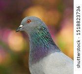Rock Pigeon Columba livia Head Shot Blurred Background Cadiz Andalucia Spain