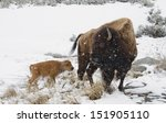Bison And New Born Calf In Snow ...