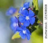Small photo of A macro shot of some blue green alkanet blooms.
