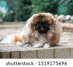 Portrait Of Pekingese In The...