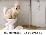 Cute Golden Labrador Retriever...