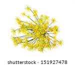 Wild Fennel Flowers Isolated O...