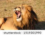 Alpha Male Lion With Open Mouth