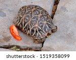 Ornate Box Turtle Animal  Box...