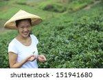Asian Woman Picking Tea Leaves...