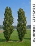 Lombardy Poplars  Populus...