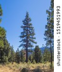 Single Pine Tree Grows In The...