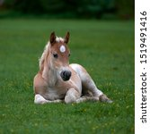 Young Cute Foal Outdoor Restin...