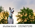 Whippet At Sunset. Cute...
