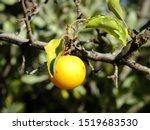 Ripe wild yellow plum on a tree in the garden. Plum harvest autumn on a Sunny day  - stock photo