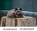 Silver fox sprawling on old tree stump, gazing into the camera with amazing amber eyes