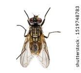 Housefly  Musca Domestica ...