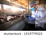 Small photo of Veterinarian at pig farm checking health status of pigs domestic animals on his tablet computer in pigpen. Health concept. Food quality control and production.