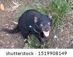 Tasmanian Devil Cub Caught Mid...