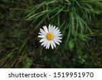 A Single Daisy Grows In A...