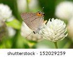 Gray Hairstreak Butterfly...
