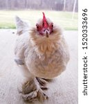 Small photo of bantam porcelain d'uccle chicken pullet standing on concrete looking into the camera