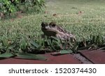 Garden Toad On Green Grass