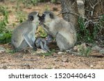 Two Adult Vervet Monkeys Appea...