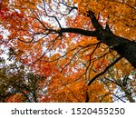 Autumn Maple Tree Branches View....