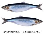 Stock photo herring fish isolated on white background frozen group of fish iced atlantic fish herrings 1520843753