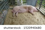 Pig With Large Testes Lies In...