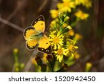 Yellow Butterfly  Colias  On...