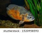Aquarium Tropical Fish. The...