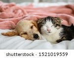 Stock photo adorable little kitten and puppy sleeping on bed indoors 1521019559