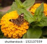 Buckeye Butterfly Or Junonia...