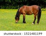 Fat Pony Munching On Lush Gree...