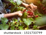 Arabica coffee berries with...