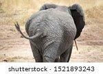 Female African Elephant In...