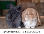 Stock photo grey and biscuit coloured tame pet rabbits snuggled up together relaxing cute bunny rabbits farm 1521900176
