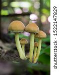 Small photo of Mushrooms in the forest - Ypholoma fasciculare, commonly known as the sulphur tuft, sulfur tuft or clustered woodlover