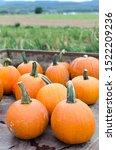 Pumpkins After Harvest On A...
