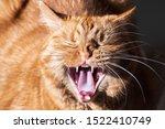 Adult Orange Cat Caught With...