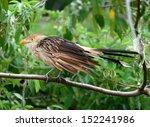 guira cuckoo  guira guira  a...   Shutterstock . vector #152241986