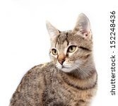 Little Gray Kitten Portrait Up...