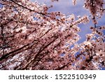 Small photo of Lush almond tree one spring morning