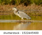 Heron Standing In Water With...