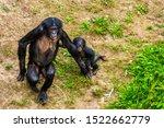 Mother Bonobo Walking Together...