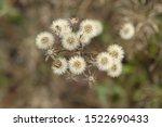 Dandelion Like White Fluffy...