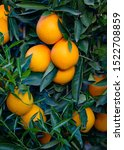 Small photo of Oranges, of the Navel Late variety, pending collection on the tree. Valencia. Spain