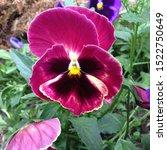 Macro Photo Pink Violet Viola...