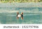 Red Crested Pochard Diving Duck ...