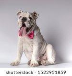 Beautiful English Bulldog...