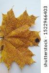 autumn leaf close up texture | Shutterstock . vector #1522966403