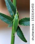 Small photo of Green Tree Cricket (Truljalia hibinonis) in Japan