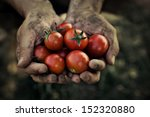 Tomato Harvest. Farmers Hands...